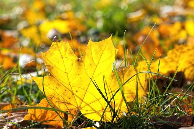 Floresta decídua durante a queda das folhas no outono e nas árvores de bordo, a cor da folhagem muda para amarelo e laranja, o território do parque ou floresta