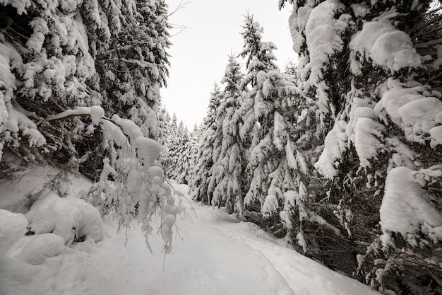 Floresta densa da montanha na neve profunda limpa branca.
