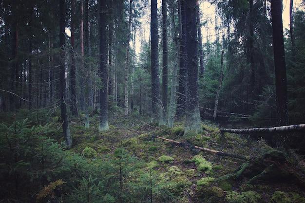 Floresta densa de abetos com árvores de natal jovens e solo coberto de musgo.