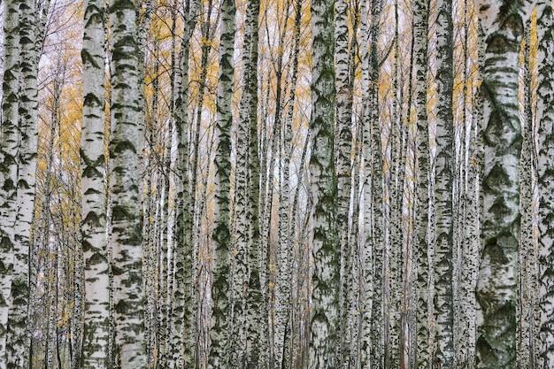 Floresta densa de bétula