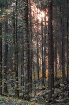 Floresta densa e impenetrável no início do outono ao pôr do sol