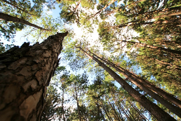 Floresta do pinheiro no dia ensolarado da mola. túnel de caminho de árvore de pinheiro