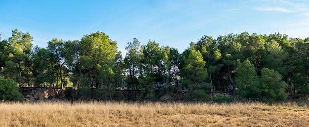 Floresta do pinho (pinus sylvestris l.) na névoa da manhã da mola.