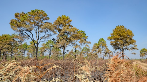 Floresta do savana e do pinho após o incêndio florestal.