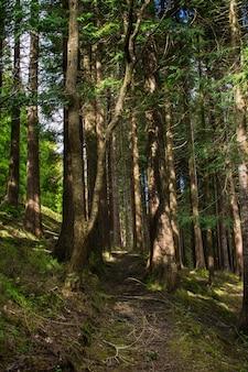 Floresta em sao miguel, açores, portugal. árvores altas.