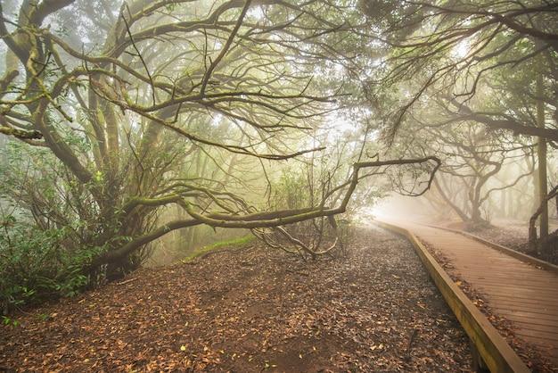 Floresta enevoada em montanhas de anaga, tenerife, ilhas canárias, espanha.