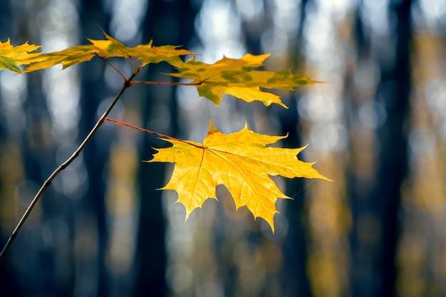 Floresta escura de outono com folhas de bordo amarelas em um galho de árvore em um fundo desfocado
