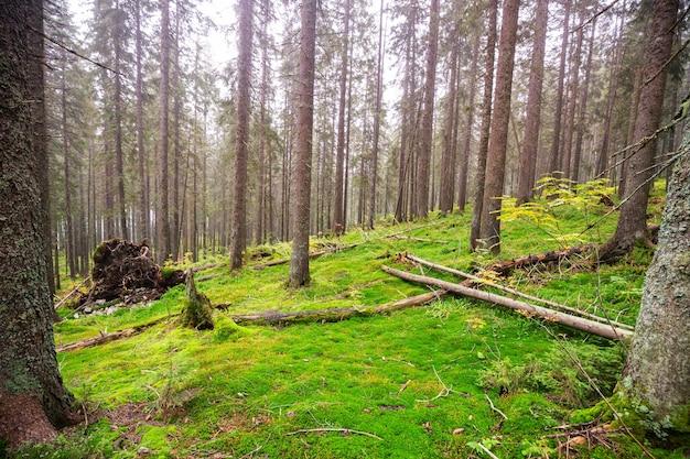 Floresta fabulosa. árvores cobertas por uma espessa camada de musgo.