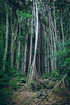 Floresta havaiana tropical escura com lianas e troncos de árvores finas