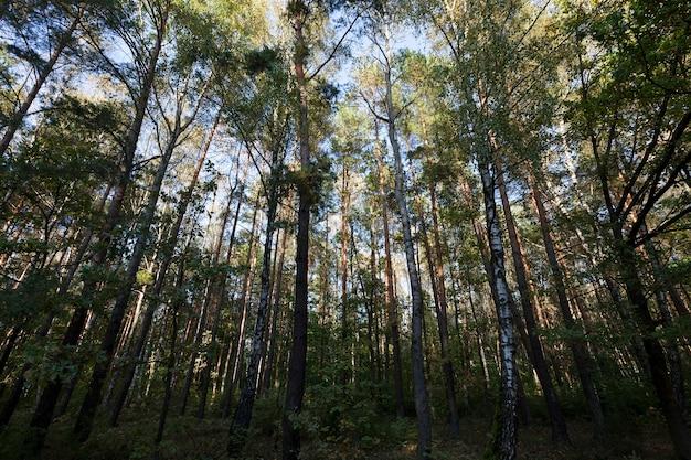 Floresta mista com árvores decíduas e coníferas na temporada de outono, clima ensolarado