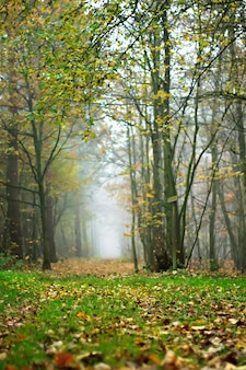 Floresta nebulosa no outono com o solo coberto de folhas outonais caídas