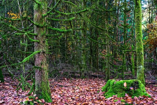 Floresta no musgo verde, floresta no outono pela manhã, floresta na manhã, outono na floresta