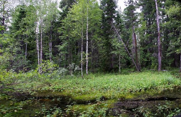 Floresta selvagem e pantanosa no oeste da sibéria. rússia, bairro de surgut.