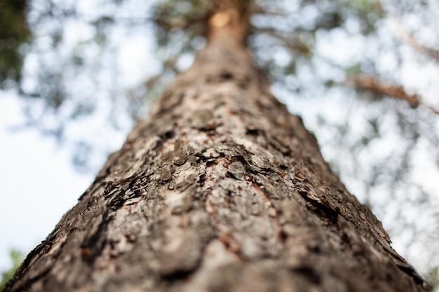 Floresta, tronco de árvore na orientação horizontal, casca de pinheiro desfocada no fundo
