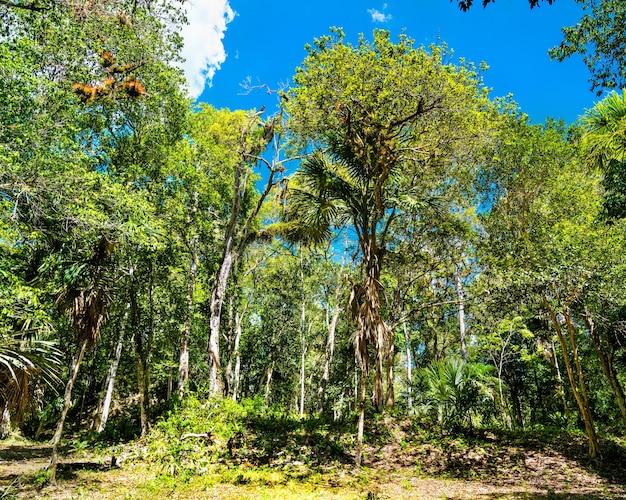 Floresta tropical no sítio arqueológico de tikal, na guatemala
