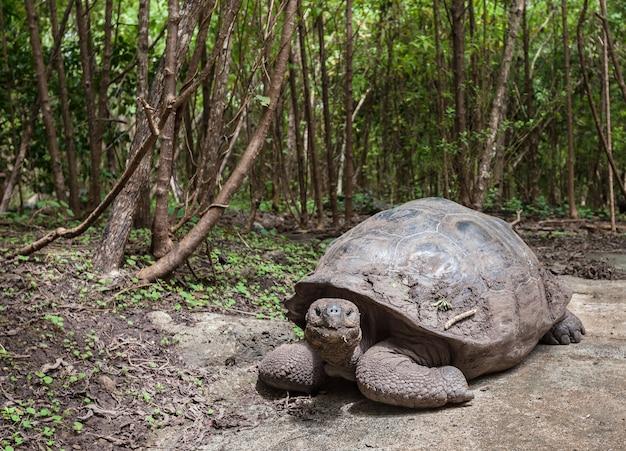 Floresta verde da tartaruga de galápagos na ilha floreana