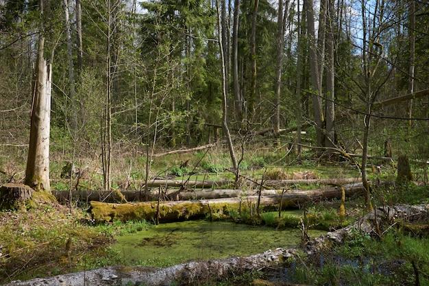 Floresta verde entre os pântanos