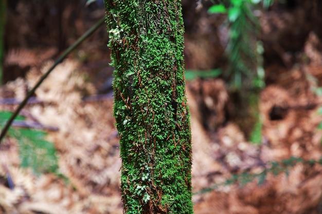 Floresta vermelha em rotorua, nova zelândia
