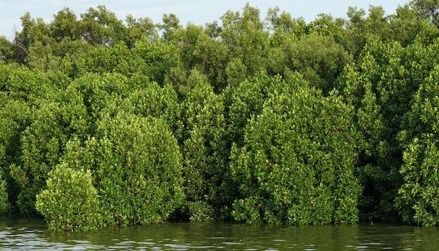 Florestas de mangue abundantes