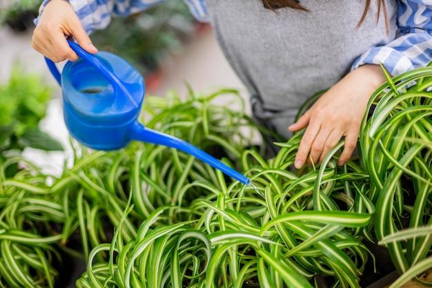 Florista de mulher morena feliz derramando água doce nas folhas verdes de clorophytum no jardim doméstico