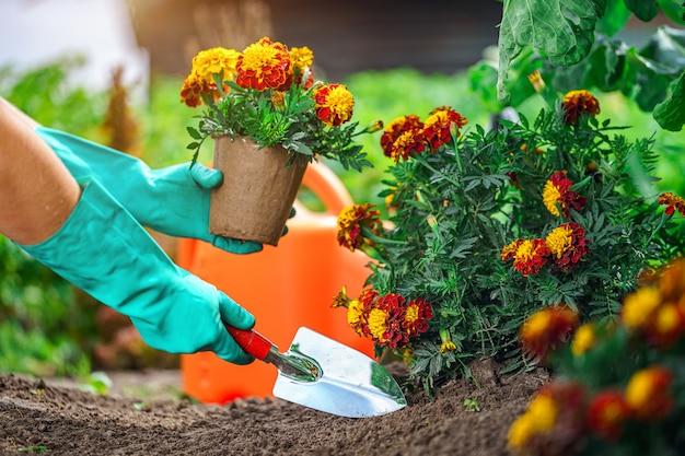 Florista planta flores no jardim. flores crescentes de calêndula