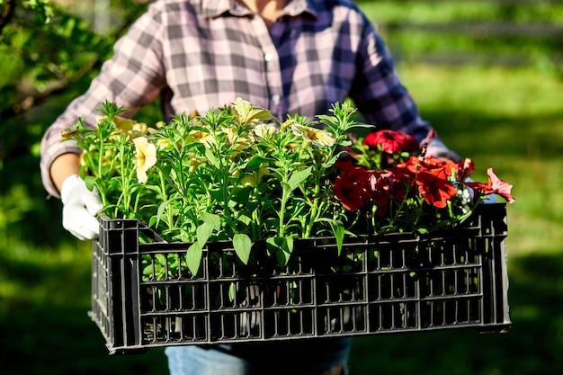 Florista segura caixa cheia de flores de petúnia. o jardineiro está carregando flores em uma caixa na loja