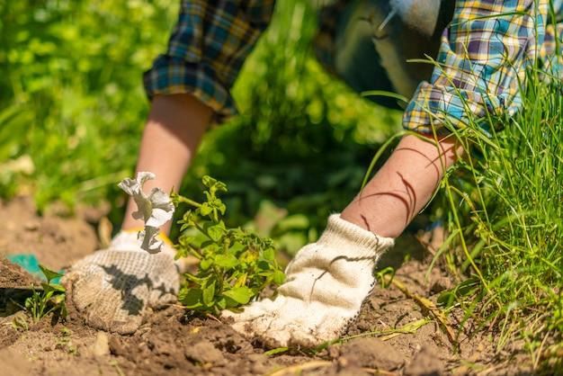 Floristas com as mãos nas luvas plantam uma flor jovem e brilhante no jardim no campo Foto Premium