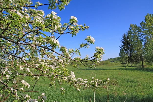 Flowerses branco na árvore de primavera aple