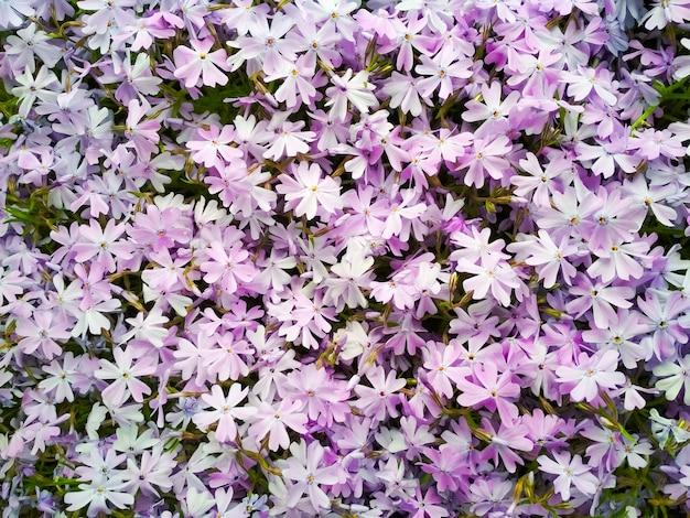 Flox de musgo ou flox de montanha flores flores roxas para
