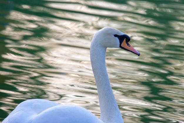 Flutuando gracioso cisne branco na lagoa. aves de animais com penas