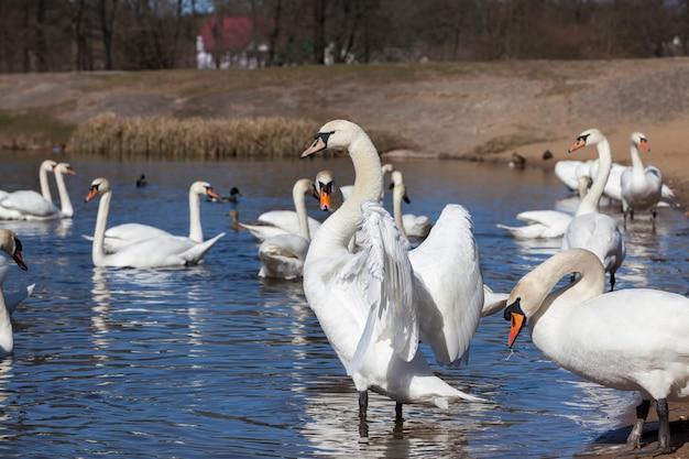 Flutuando na água um grupo de cisnes brancos, os pássaros da estação da primavera, animais selvagens com cisnes e aves aquáticas durante a reprodução na primavera