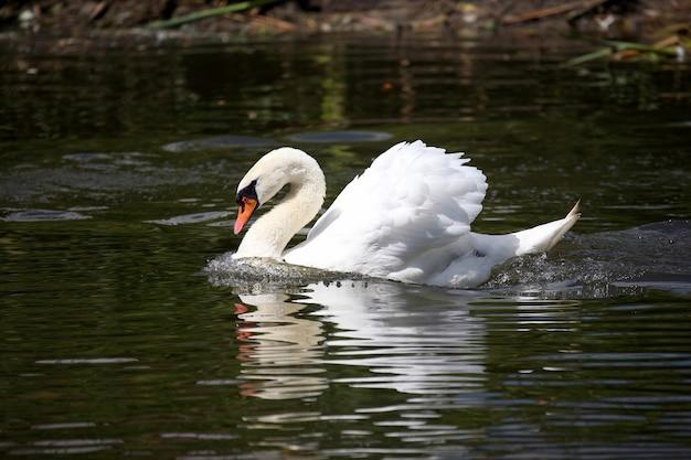 Flutuando na lagoa cisne branco