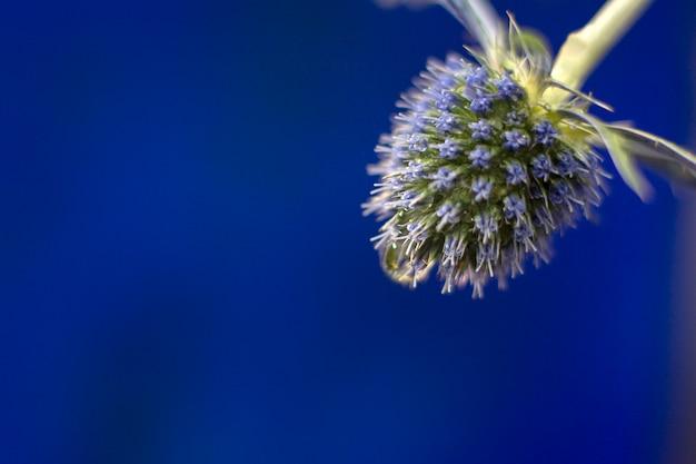 Fluxo de cardo azul em dia de verão em azul profundo