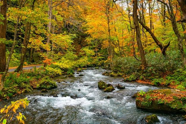 Fluxo do córrego da montanha de oirase ao longo da fuga de passeio do córrego de oirase na folha colorida da floresta do outono no desfiladeiro de oirase no parque nacional de towada hachimantai, aomori prefecture, japão.