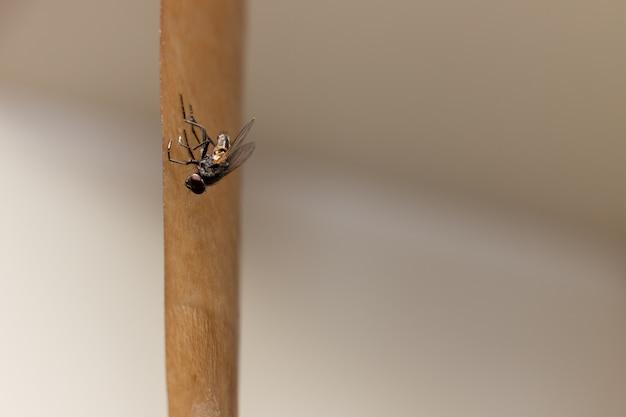 Fly preso em uma fita adesiva especial para pegar insetos voadores.