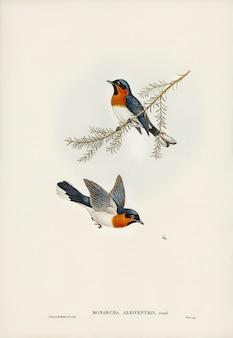 Flycatcher branco-inchado (monarcha albiventris) ilustrado por elizabeth gould