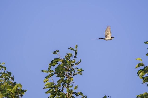 Flycatcher-de-cauda-bifurcada voando sobre um belo prado