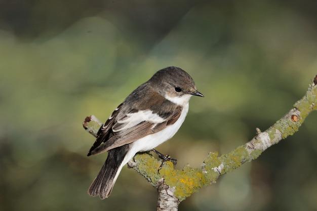 Flycatcher fêmea pied ficedula hypoleuca, malta, mediterrâneo