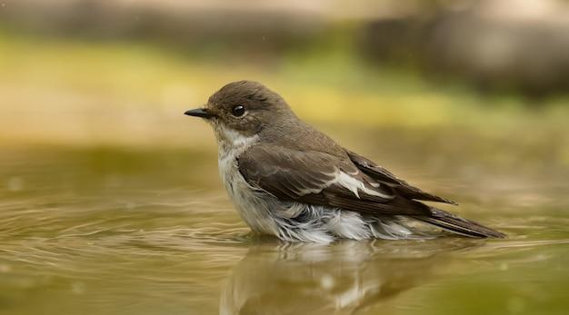 Flycatcher manchado sentado na água
