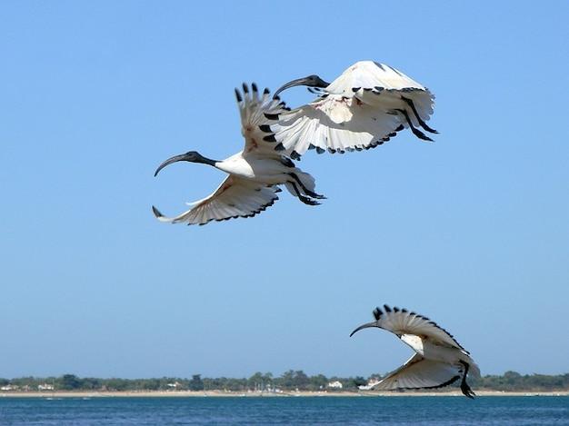 Flying ibis vôo baía france natureza