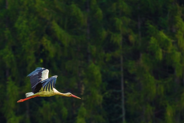 Flying white stork bird