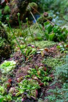 Flytrap predatório carnívoro de venus da planta - muscipula do dionaea.