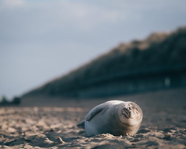 Foca deitada na areia da praia