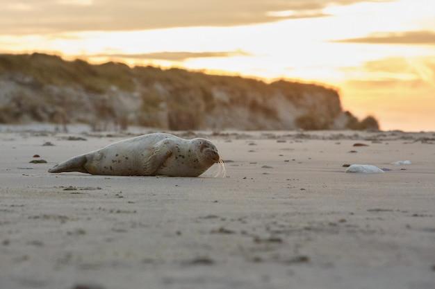 Foca na praia na ilha das dunas perto de helgoland
