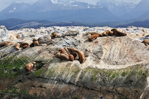 Focas na ilha do canal de beagle fecham a cidade de ushuaia, na terra do fogo, argentina