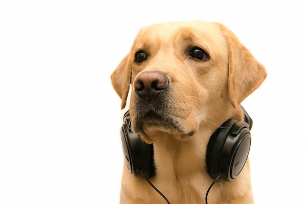 Focinho de um cachorro com fones de ouvido