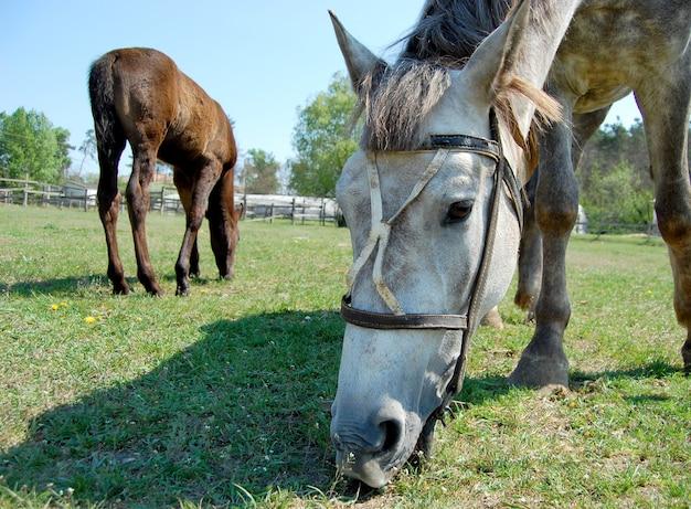 Focinho de um cavalo comendo estábulos de grama no verão