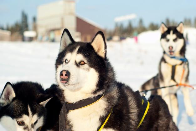 Focinho de um husky siberiano com olhos diferentes atrelado a um trenó e olhando para seu dono
