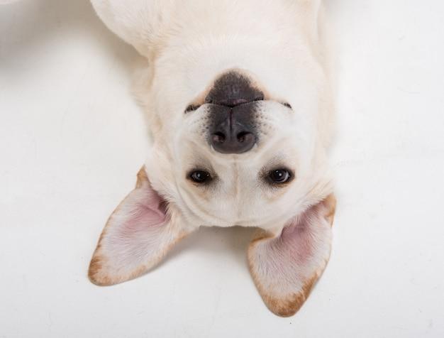 Focinho do close-up do cão bonito labrador.