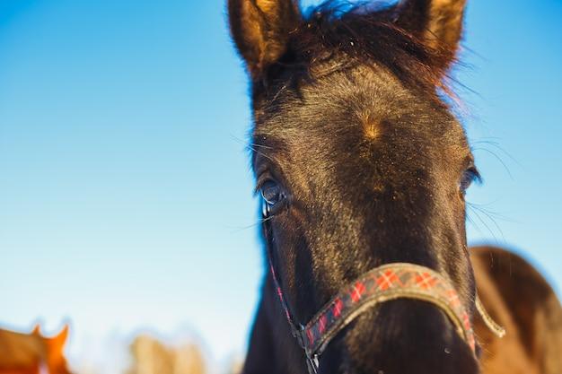 Focinho do close-up preto do potro árabe contra. grandes olhos expressivos do cavalo